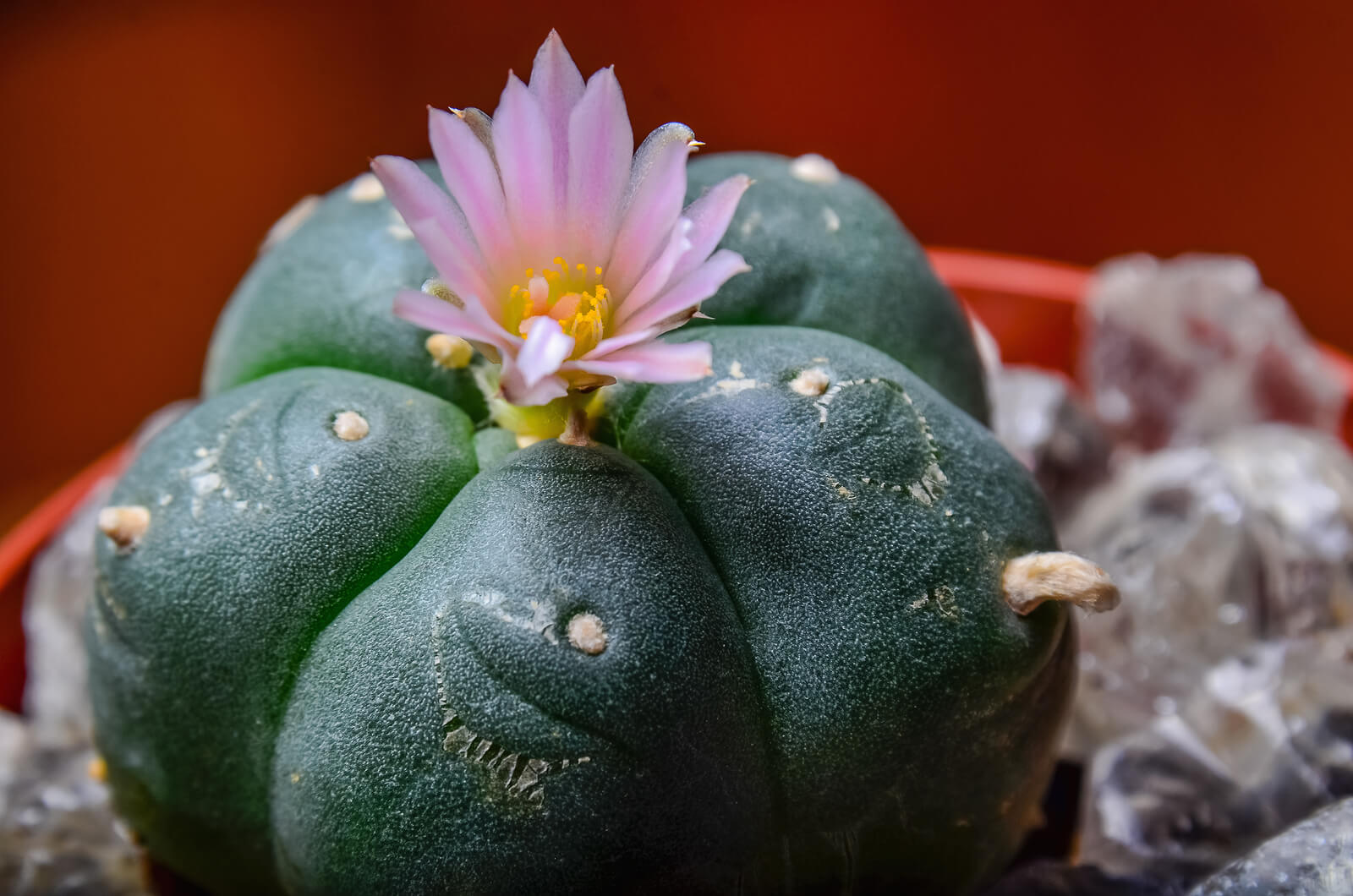 What is Peyote? | Midwood Addiction Treatment